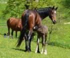 Württemberger, Baden-Württemberger, horse originating in Germany