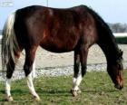 Wielkopolski horse originating in Poland