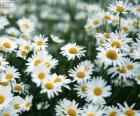 Field of white Daisies
