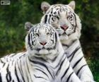 White Bengal Tigers