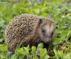 European or common Hedgehog