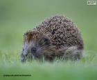 European or common Hedgehog