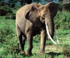 An elephant with tusks