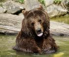 Big bear in the water