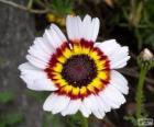Tricolor Chrysanthemum