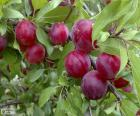 Plums on the tree. The plum is a fruit of bone, round or elongated which can be yellow, green, red or purple. It is very nutritious and rich in vitamins.