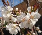 Flowers of almond tree in spring