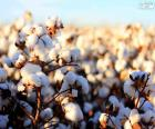 Flowers of cotton