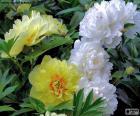 Flowers of peony