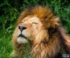 Lion under the sun
