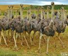 Several ostriches in the field. It is a large bird that does not fly