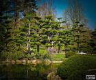 Sugi or Japanese cedar