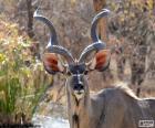 Male Kudu