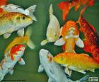 Carp of colors