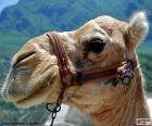 Head of Arabian camel or dromedary, domesticated and used by its owner to load