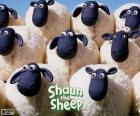 Some of the adult sheep that are part of the herd of Shaun