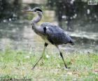 Grey heron long legs