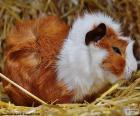 Guinea pig of color Brown and white, is often have it as pet