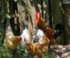 Rooster and hens