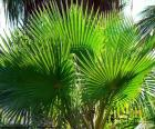 Washingtonia leaves, a type of Palm tree, are native to the Southwest United States and Northwest Mexico