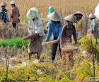 Several farmers working on the harvest of rice in Bali, Indonesia