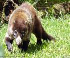 White-Nosed coati, is a species of carnivorous mammal that inhabits Central America