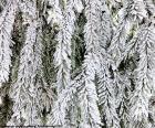 Frozen branches of fir