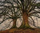 Two old trees