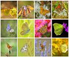 Collage of butterflies