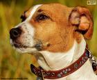 Head of Jack Russell Terrier