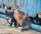 Three beautiful kittens of blue eyes, one of them hidden behind the blue door
