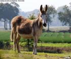 The donkey or ass is an animal used by man as beast of burden