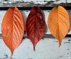 Three leaves of autumn