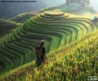 Rice Terraces, Thailand
