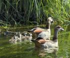 Family of Egyptian goose