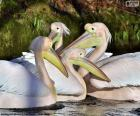Four pink pelicans