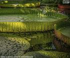 Great water lily puzzle
