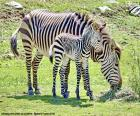 Baby zebra and her mother