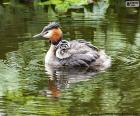 The great crested grebe with their breeding, live in the wetlands of Europe, Asia, Africa and Australia