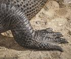 Crocodile's foot