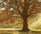 Deciduous tree in autumn