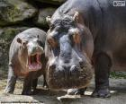 Hippopotamus next to his calf