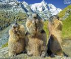 Three Alpine groundhogs