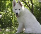 White Swiss Shepherd Dog Puppy