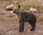Hyena cubs are born almost fully developed