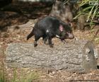 Tasmanian Demon