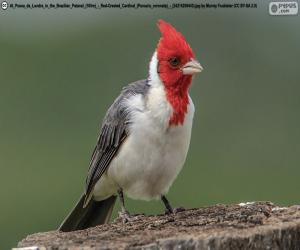 Red-crested cardinal puzzle
