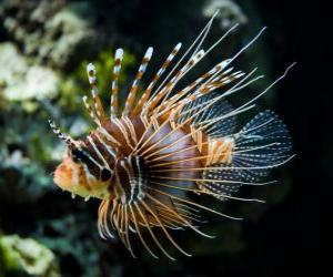 Red lionfish puzzle
