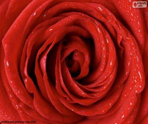 Red Rose detail puzzle