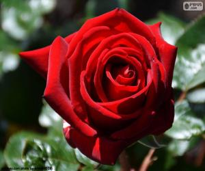 Red Rose for the Valentine's day puzzle